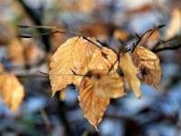 Bøgeblade, foto: SBW